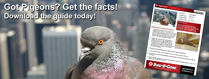 Got Pigeons on Your Building? Why you need to get rid of them...