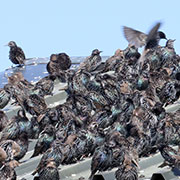 Starlings And The Grain/Agriculture Industry